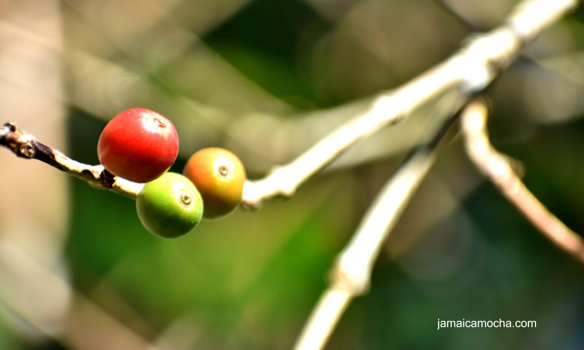 jamaicamocha